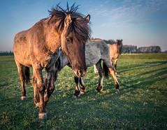 My just out of bed look (Ingeborg Ruyken) Tags: ochtend 500pxs spring empel dawn lente natuurfotografie paard koornwaard horse konik