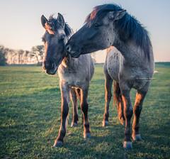 Gossip girls (Ingeborg Ruyken) Tags: ochtend 500pxs spring empel dawn lente natuurfotografie paard koornwaard horse konik