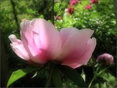(Tölgyesi Kata) Tags: paeonia paeony peony bazsarózsa füvészkert botanikuskert botanicalgarden withcanonpowershota620 pfingstrosen budapest fleur virág spring tavasz pinkflower