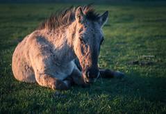 I don't wanna talk to you (Ingeborg Ruyken) Tags: ochtend 500pxs spring empel dawn lente natuurfotografie paard koornwaard horse konik