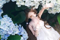 艷陽下的繡球花 (Hanping K) Tags: dollfiedream dd doll