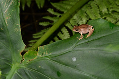 Eiffinger's Tree Frog 1 (Bob Hawley) Tags: asia taiwan nature nikond7100 outdoors nantoucounty herpetology animals wildlife creatures nocturnal shuilitownship amphibians leaves eiffingerstreefrog kurixaluseiffingeri endemicspecies nikon28105mmf3545afd