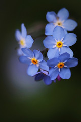 Myosotis (Domikawa4) Tags: myosotis fleur flower bleu bleue blue macro extérieur outdoor