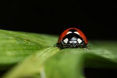 7-spot ladybird (Lord V) Tags: macro bug insect ladybird 7spot