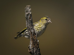 Female siskin (msmedsru) Tags: bird portrait siskin synnfjell norway