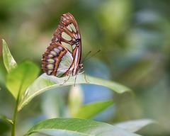 Vlinder in Mangrove Burgers' Zoo (d50harry123) Tags: natuur waterdruppel waterdruppels macro vlinder butterfly nikonnl zoo burgerszoo mangrove arnhem d750 tokina100mmmacro harrykramer