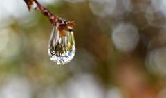 Water Drop (59ling) Tags: water drops closeup bokeh garden backyard sony sydney a6500 rain reflection