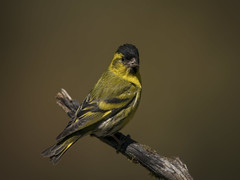 Male siskin (msmedsru) Tags: bird portrait siskin synnfjell norway