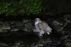 Blakistan's Fish-Owl (Rickmeister1) Tags: buboblakistoni japan rausu washinoyado owl