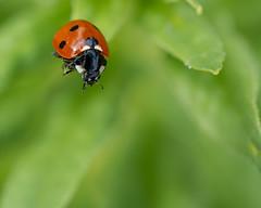 Long Way Down (LadyBMerritt) Tags: ladybug ladybird nature creature garden bug insect plant macro