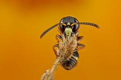 Peaceful slumber 3 (affectatio) Tags: macro mpe65 bug insect wasp potterwasp eumeninae sleeping 6d canon6d focusstack zerene zerenestacker