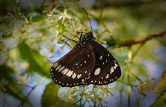 Butterfly - Jewel of nature! (Uhlenhorst) Tags: 2009 australia australien animals tiere travel reisen plants pflanzen blossoms blüten coth coth5 alittlebeauty