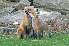 Give Us A Kiss (marylee.agnew) Tags: red fox father kit kiss love nature wildlife family cute