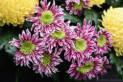 "Chrysanthemum ""Disco Club"" (Bri_J) Tags: rhs chatsworthflowershow2019 chatsworthhouse edensor derbyshire uk chatsworth flowershow nikon d7500 chrysanthemum discoclub flowers asteraceae"