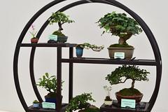 Bonsai Display (Bri_J) Tags: rhs chatsworthflowershow2019 chatsworthhouse edensor derbyshire uk chatsworth flowershow nikon d7500 dwarfbirch commonivy firethorn cotoneaster batulanana hederahelix pyrocanthacoccineateton cotoneastermicrophyllus bonsai plants