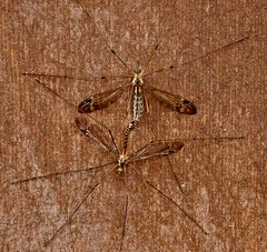 Crane Flies Caught in the Act (Ken L. Katz) Tags: insect flyinginsect cranefly mating nikond90 macro diptera mosquitohawk