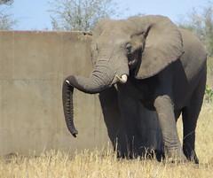 ...and you think you are tired!  ( elephant / olifant ) (Pixi2011) Tags: elephants wildlife krugernationalpark southafrica africa wildlifeafrica wildanimals animals big5 nature
