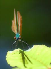 Libellule (danielled61) Tags: libellule regard ombre lumière printemps insecte juin demoiselle yeux bois forêt