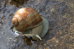 Huge Snail (Colin Weaver) Tags: snail invertebrate wildlife creature
