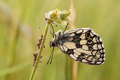 Marbled white (Lt_Dan) Tags: marbledwhite galatea butterfly farfalla insect nature macro