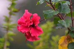 Panchamukhi Jaba (proy21) Tags: hibiscus redflower nikon d3300 tamron100400 rosasinensis