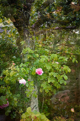 Constance Spry on the ancient apple tree (judy dean) Tags: judydean 2019 summer ps texture garden appletree rose constancespry scent pink wiretrellis moss fence leaves flowers shade