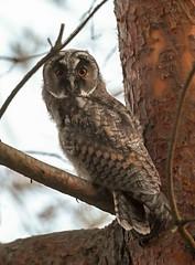 Asio otus, juvenile (Frode Numan) Tags: juvenile ransuil owl utos asio