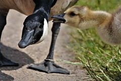 happy fathers day daddy (Paul wrights reserved) Tags: fathersday child son dad father goose geese gosling goslings cute bird birds birding birdphotography birdwatching