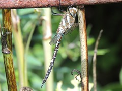 Just Hanging (Kevin Pendragon) Tags: blending tyntesfield bristol naturephotography national trust nature insect dragonfly body tail colours outdoors outside sun sunshine heat hot weather sky blue trees brown green yellow sunbathing