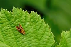 Tiny Moth (evisdotter) Tags: tinymoth prydligbrokvecklare olethreutesarcuellus archedmarble insect fjäril butterfly nature macro
