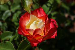 Maig_0393 (Joanbrebo) Tags: park parque parc parccervantes barcelona flors flores flowers fiori fleur rose rosa blumen blossom garden jardín jardí canoneos80d eosd efs1855mmf3556isstm autofocus
