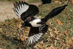a Flying magpie : landing (Franck Zumella) Tags: bird oiseau green black dark vert colors couleur noir pie magpie background arrière plan wind vent feather plume bokeh circle fly flying flight vol voler landing fast ground sol play playing