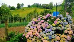 Usurbil. Hortensias (eitb.eus) Tags: eitbcom 32961 g1 tiemponaturaleza tiempon2019 flora gipuzkoa usurbil jonhernandezutrera