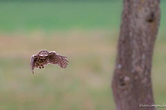 Project 2019 -Little Owls (eric-d at gmx.net) Tags: littleowl athenenoctua steinkauz eule strigidae owl kauz eric wildlife ngc naturepicturede birds birdofprey