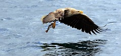 White tailed sea Eagle J78A0204 (M0JRA) Tags: scotland isles mull sea water waves boats reflections land birds holidays vacations sky clouds sunset sun deer fields roads gulls eagles