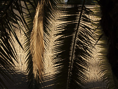Palm Branch Silhouette (zeevveez) Tags: זאבברקן zeevveez zeevbarkan canon palm silhouette עלון