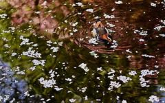 sapporo 697 (kaifudo) Tags: sapporo hokkaido japan mandarinduck 札幌 北海道 鴛鴦 オシドリ nikon d5 nikkor afs 105mmf14eed 105mm reflection
