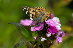 painted lady butterfly, strumpshaw fen norfolk (ianwoodthompson) Tags: strumpshaw fen norfolk painted lady butterfly