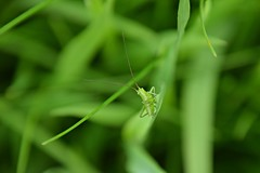 the grass world (JoannaRB2009) Tags: grasshopper green grass insect animal macro closeup nature plants spring