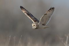 Shortie at work (PIX SW) Tags: bird short eared owl shortearedowl seo flying flght owls shorty shortie asioflammeus birds nature