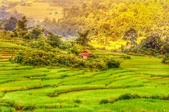ha giang vietnam (hmong135) Tags: hagiang vietnam rice paddies terraces farmland green