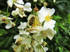 (belight7) Tags: white flowers bee uk england life