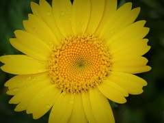 IMG_1920 (belight7) Tags: yellow flower macro uk england