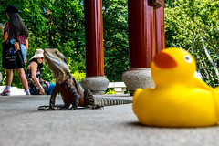 Ducky not the focus (Tony Shertila) Tags: nikon5300 australasia australia chinatown cruise ociania peacegarden ship sydney tourist worldcruise 201902251210040 ducky chinesegardenoffriendship garden city newsouthwales water pond lizard dragon