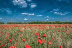 Poppy field (Torok_Bea) Tags: poppyfield poppy papaverrhoeas papaver pipacs pipacsmező wonderful wild wildflower amazing awesome nikon nature lovely lovenatur nikon1680 flowers flower fantastic június home natur