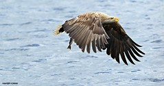 White Tailed Sea Eagle J78A0207 (M0JRA) Tags: scotland isles mull sea water waves boats reflections land birds holidays vacations sky clouds sunset sun deer fields roads gulls eagles