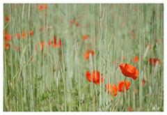 Sommerfeld (h.ullrich) Tags: helios 442 258 m42 mohn rot pflanze blume blüte macro detail nahaufnahme bokeh bokehlicious klatschmohn feld