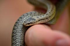 Coronella austriaca (Fo.El) Tags: snake nature herpetofauna reptile italy nikon d5100