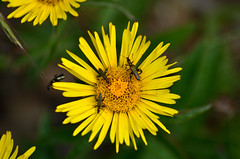 (Fo.El) Tags: wild flower arthropods insect yellow green nature italy nikon d5100