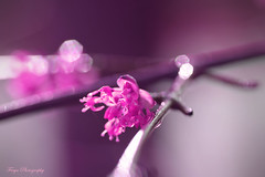 Dreaming in Pink... (Maria Godfrida) Tags: smileonsaturday thinkpink nature flowers flora pink forsythia closeup macro bokeh branch light plants